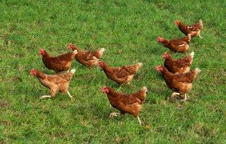 Hobbyboer+wil+vaccineren+tegen+vogelgriep