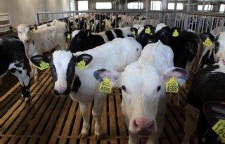 LTO: 'Ander kalvertransport ingrijpend voor melkvee- en kalversector'