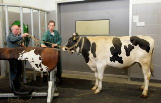 Snelle genomics in rundveefokkerij vragen aandacht voor inteelt
