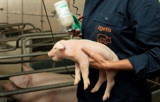 Varkensdierenarts: 'Vroeg vaccineren is voordelig bij PRRS'