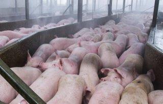 Duitse achterstand varkensslacht flink ingelopen