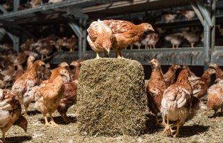 Broedeieren en opfokdieren rond Heeten kunnen weer worden afgevoerd