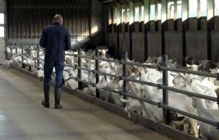 Ki+geeft+Nederlandse+geiten+boost+met+Canadees+bloed