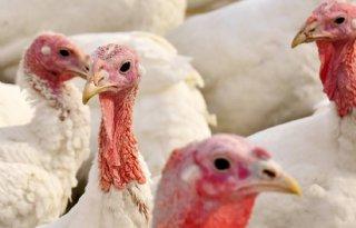 Vogelgriep treft Zweeds kalkoenenbedrijf