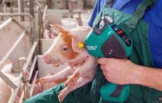 Nieuwe+vaccinatie+tegen+PIA+bij+varkens