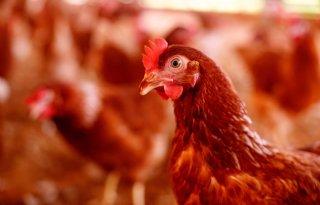 Dynamische+verlichting+draagt+bij+aan+welzijn+kip