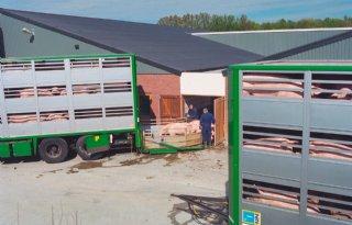 Vrachtwagen+neemt+per+rit+minder+varkens+mee+naar+slachterij