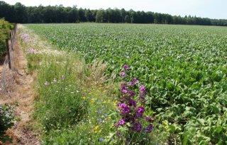 Bloemenmengsels in rijpaden tijdig zaaien voor bijen