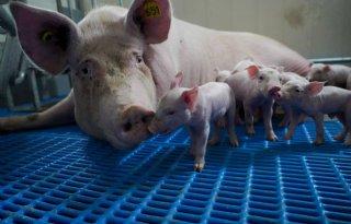 Supermarkten+vragen+om+vrijloopkraamhok+voor+varkens