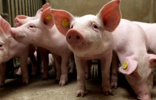 Live debat: toekomst van de varkenshouderij in Nederland