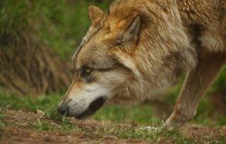 Grote+zorgen+over+komst+zwervende+wolven+naar+Friesland