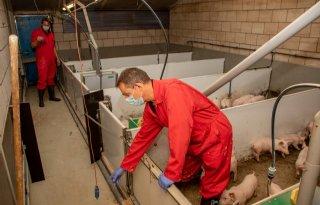 Nieuwe richtlijnen voor beter stalklimaat moderne varkens