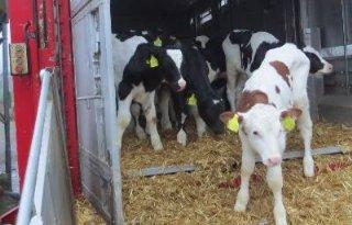 Strengere regels voor Britse diertransporten