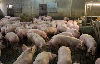 Uniformeringsafspraken varkenshouderij gaan op de schop