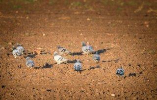 Vraatschade door vogels in mais lastig te bestrijden