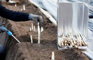 Duitse seizoensarbeiders steken vooral asperges