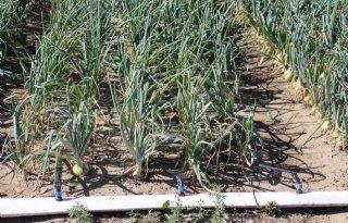 Irrigatie+levert+in+uien+nog+te+weinig+meeropbrengst