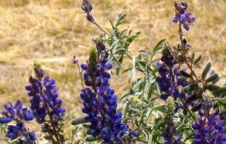 Vandinter+Semo+verkrijgt+kwekersrecht+voor+Andes+lupine