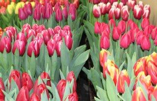 Ook streep door Tulip Trade Event