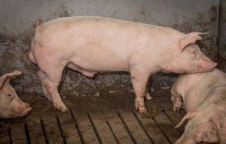 Vitamine D-tekort veroorzaakt mogelijk kreupelheid bij varkens