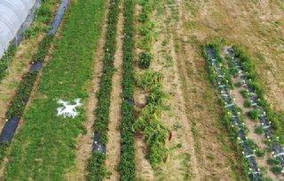 Drone telt bloemen en voorspelt aardbeienoogst