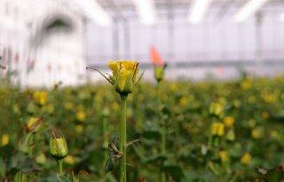 Goedkeuring+vier+projecten+plantgezondheid+in+glastuinbouw