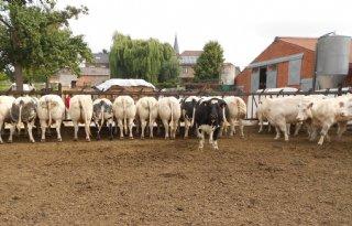 Ook in België discussie over omvang veestapel