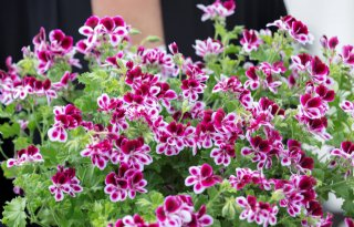 Pelargonium for Europe zet influencers achter de geraniums