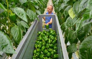 Oogst groene paprika's voor Engeland van start bij Valstar