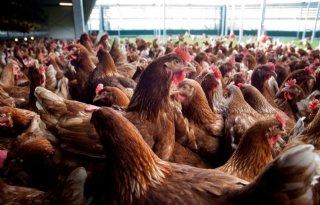 Kwart meer pluimvee in Polen