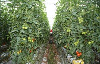 Opnieuw vrijstelling voor Verimark in tomaten