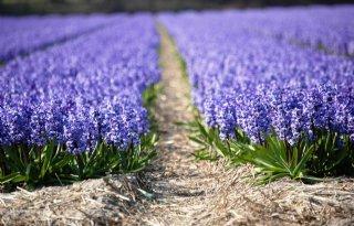 Schoon+beginnen+voor+vitale+teelt+hyacinten