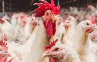 Kabinet wil vrijwillige sanering veehouderij