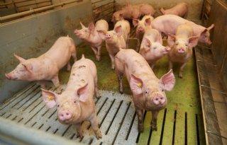 Varkenssector gaat aan de slag met stof en endotoxinen