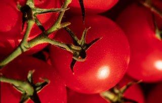 Tomatenvirus+verspreidt+zich+verder+over+Europa