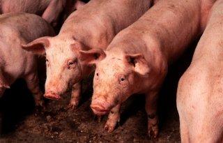 Arbeidstekort zorgt voor problemen Britse varkenssector