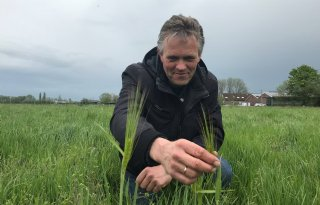 Ureumgehalte omlaag met tarwe in grasland