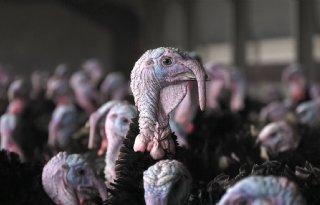 Vogelgriep bij kalkoenbedrijf in Weert