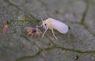 Gen maakt planten weerbaar tegen bladluis en wittevlieg