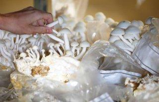 Universiteit Utrecht onderzoekt voeding paddenstoelen