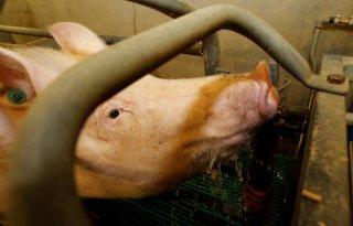 Varkensdierenarts%3A+%27Water+belangrijker+dan+voer+tijdens+hitte%27