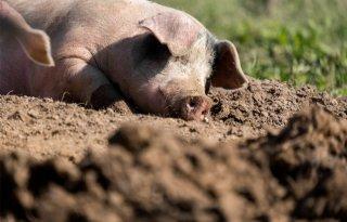 Aantal biologische varkens daalt