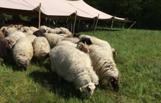 Festivaltent moet schapen in Friesland beschermen tegen wolf