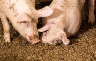 Brabantse primeur voor Wroetconcept varkenshouderij