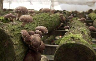 Cosun verwacht 14 ton suiker per hectare