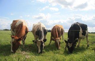 Ruim helft Nederland wil voldoende ruimte voor vee