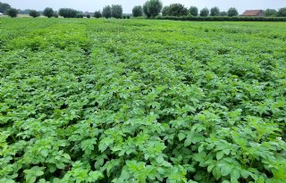 Inagro: phytophthoraresistent aardappelras houdt langer stand