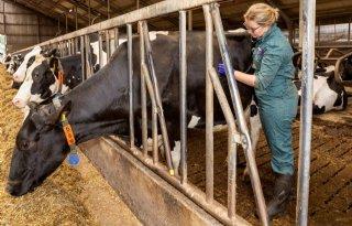 Broeierig weer zorgt voor infecties bij rundvee en schapen