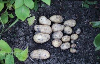Groot aardappelproject focust op betere rassen