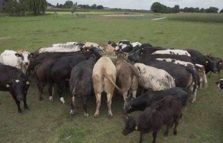 Achterhoeks voer zorgt voor kippenvel bij Limburgse boeren